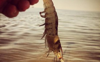 shrimp pics (8)