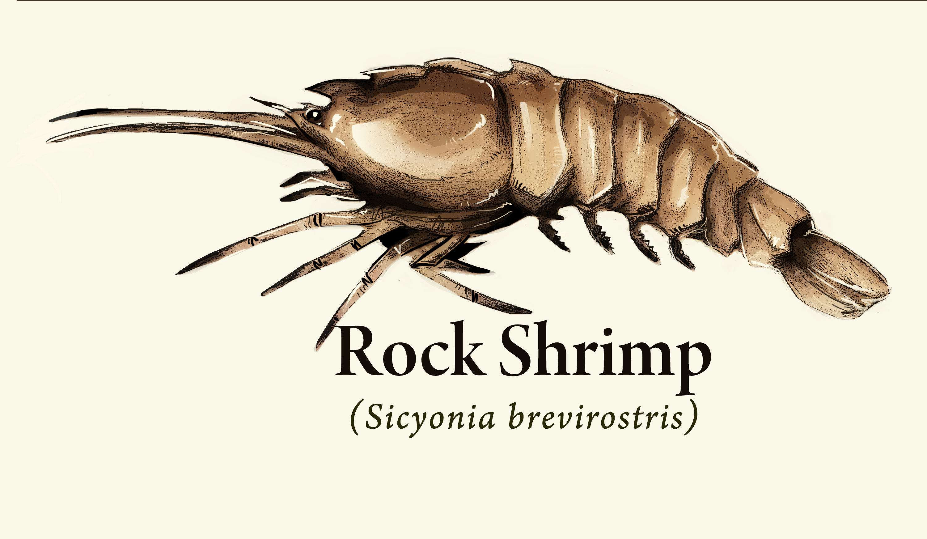 Rock Shrimp