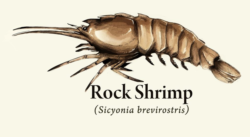 Brown Rock Shrimp illustration for form